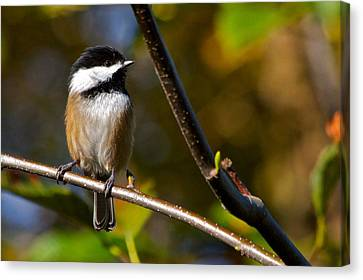 Black Cap Chick-a-dee Canvas Print by Scott Holmes
