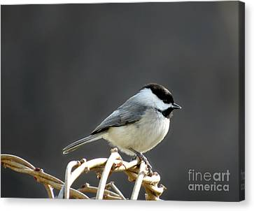 Canvas Print featuring the photograph Black-capped Chickadee by Brenda Bostic
