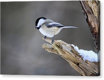 Black-capped Chickadee Canvas Print by Gary Hall