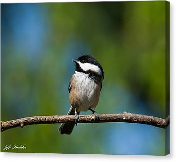 Black Capped Chickadee Perched On A Branch Canvas Print
