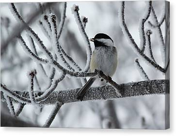 Canvas Print featuring the photograph Black-capped Chickadee by Ryan Crouse