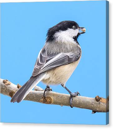Black-capped Chickadee With Safflower Seed Canvas Print
