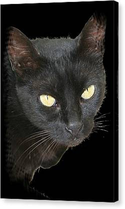Black Cat Isolated On Black Background Canvas Print by Tracey Harrington-Simpson