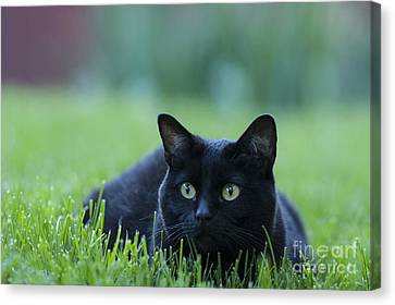 Black Cat Canvas Print by Juli Scalzi