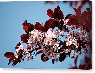 Black Cherry Plum (prunus Cerasifera) Canvas Print by Maria Mosolova