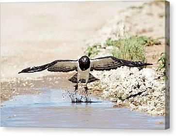 Black-chested Eagle Taking Flight Canvas Print by Tony Camacho