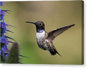 Black-chin Humming Bird Canvas Print
