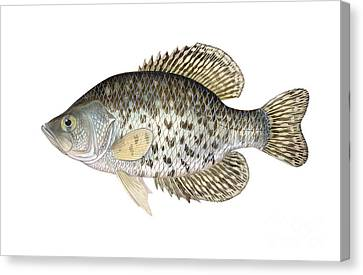 Black Crappie Canvas Print by Carlyn Iverson