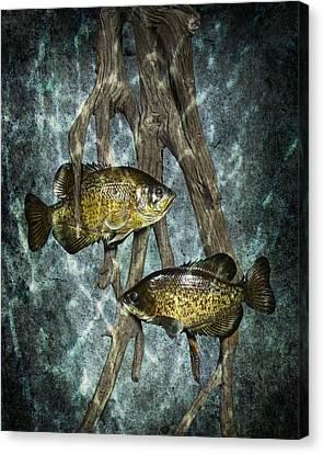 Black Crappies A Fish Image No 0143 Blue Version Canvas Print by Randall Nyhof
