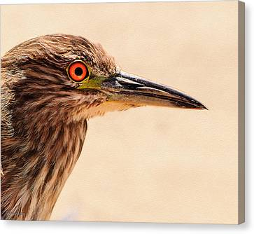 Black Crowned Night Heron 4 Canvas Print by Bob and Nadine Johnston