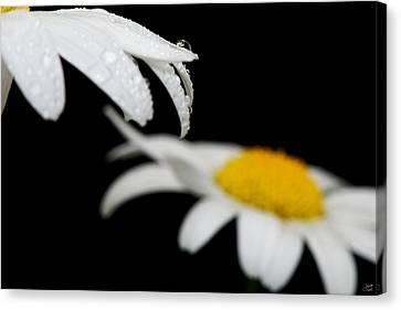 Black Daisy Reflection Canvas Print by Lisa Knechtel