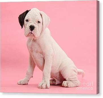 Black Eared White Boxer Puppy Canvas Print by Mark Taylor