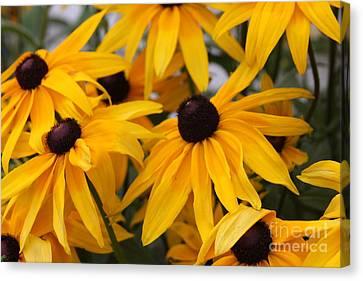 Black Eye Susan Flower Canvas Print