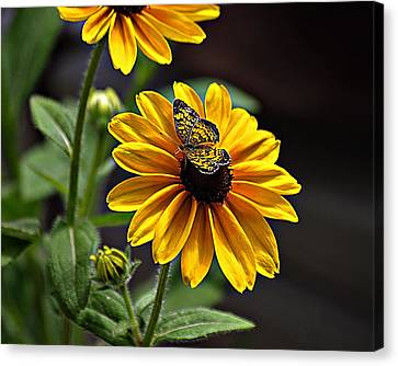 Black-eye Susan With Butterfly Canvas Print