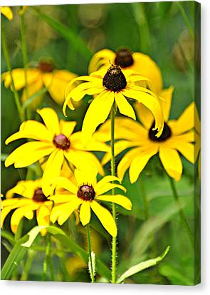 Black Eyed Susan 1 Canvas Print by Marty Koch