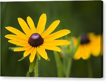 Black Eyed Susan Canvas Print by Adam Romanowicz