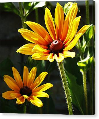 Canvas Print featuring the photograph Black Eyed Susan by Al Fritz
