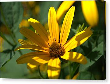 Canvas Print featuring the photograph Black Eyed Susan by Cathy Shiflett