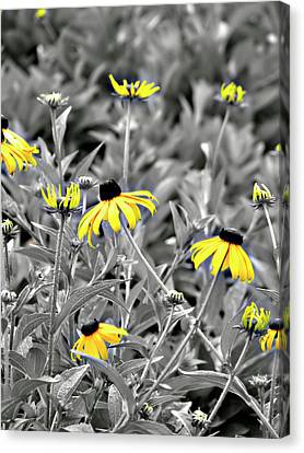 Black-eyed Susan Field Canvas Print by Carolyn Marshall