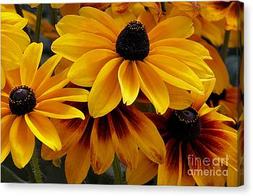 Canvas Print featuring the photograph Black-eyed Susan by Ivete Basso Photography