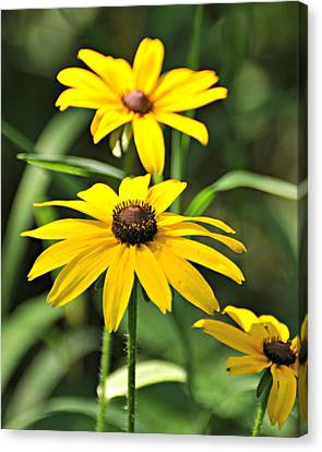 Black Eyed Susan Canvas Print by Marty Koch