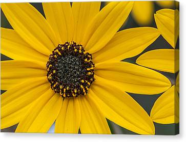 Black-eyed Susan Canvas Print