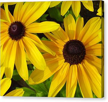 Black-eyed Susans Close Up Canvas Print by Suzanne Gaff
