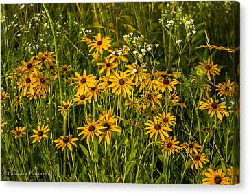 Black Eyed Susans Canvas Print by Paul Herrmann