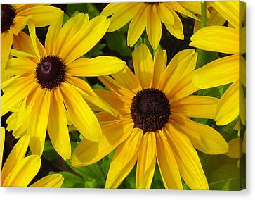 Black Eyed Susans Canvas Print by Suzanne Gaff
