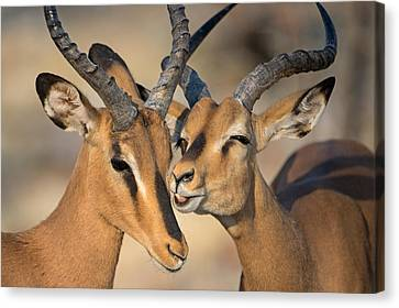 Black-faced Impalas Aepyceros Melampus Canvas Print by Panoramic Images