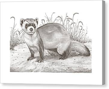 Black-footed Ferret Canvas Print - Black-foot Ferret by Gary Pritts