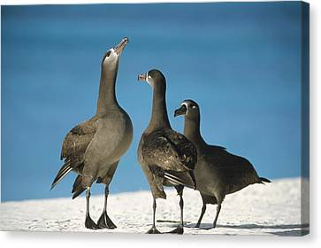 Black-footed Albatross Gamming Group Canvas Print by Tui De Roy
