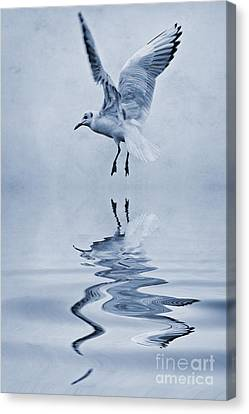 Black Headed Gull Cyanotype Canvas Print by John Edwards