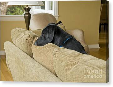 Black Lab On Couch Canvas Print by William H. Mullins