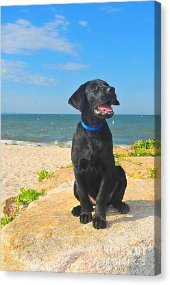 Black Lab Puppy Canvas Print by Catherine Reusch Daley