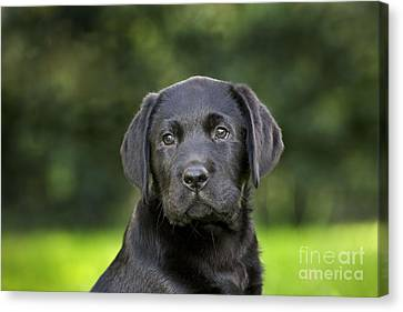 Black Labrador Puppy Canvas Print by Johan De Meester