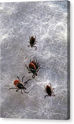 Black-legged Ticks Canvas Print by Keith Weller/us Department Of Agriculture