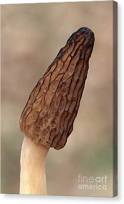 Black Morel Canvas Print by Larry West