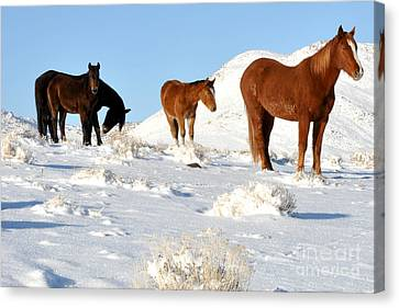 Black N' Brown Mustangs In Snow Canvas Print