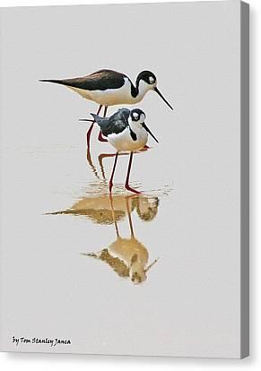 Black Neck Stilts Togeather Canvas Print
