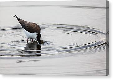 Black-necked Stilt Breaking The Water Line Canvas Print by Andres Leon