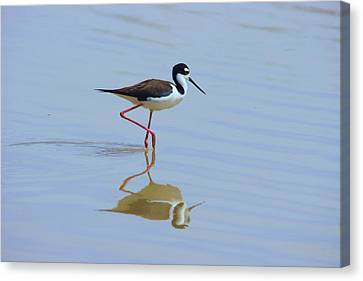 Black Necked Stilt Canvas Print