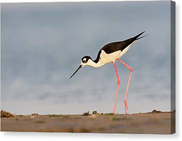 Black- Necked Stilt (himantopus Canvas Print by Larry Ditto