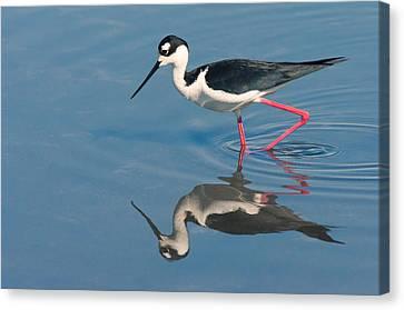 Canvas Print featuring the photograph Black-necked Stilt - Huntington Beach California by Ram Vasudev