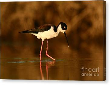 Canvas Print featuring the photograph Black-necked Stilt Waterdrops by John F Tsumas