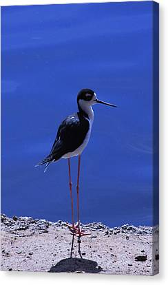 Canvas Print featuring the photograph Black-necked Stilt by Richard Stephen