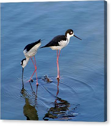 Canvas Print featuring the photograph Black-necked Stilts by Bob and Jan Shriner