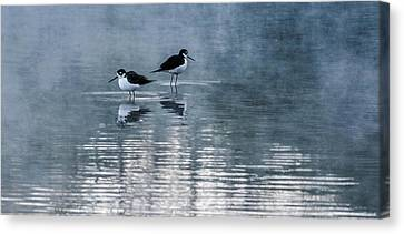 Black-necked Stilts Canvas Print