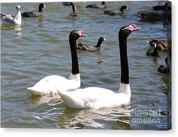 Black-necked Swans Canvas Print by Carol Groenen