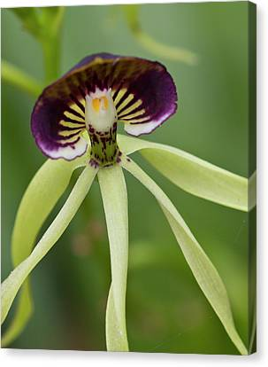 Black Orchid (prosthecea Cochleata Canvas Print by William Sutton